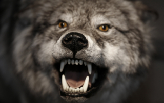 Growling Angry Wolf