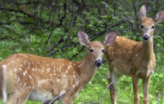 Two Deer in the Woods