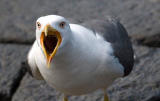 An Angry Seagull Manager